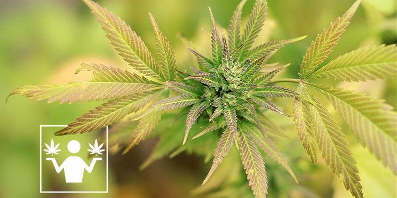 Différences Entre Skunk Et Cannabis