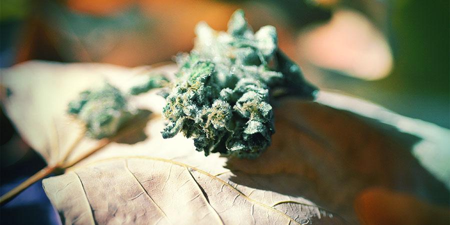 Floraison Cannabis