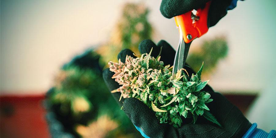 Récolte, Séchage Et Curing