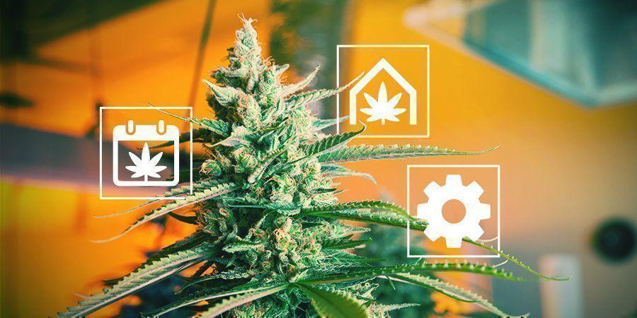Des Conseils Pour La Culture Du Cannabis Au Royaume-Uni