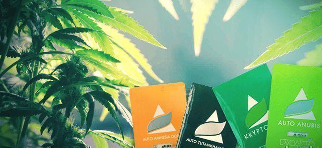 Pyramid Seeds: Variétés Hybrides De Cannabis Vraiment Uniques