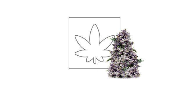 Purple (Pyramid Seeds) feminisee