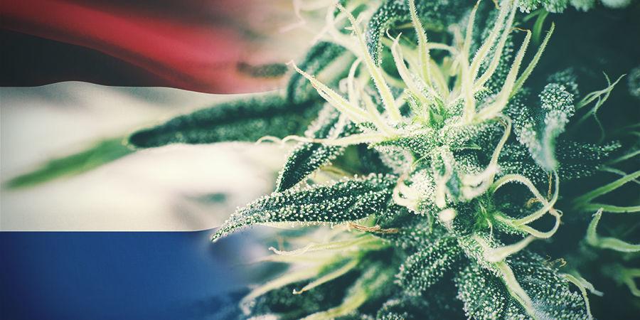 Les Meilleures Variétés De Cannabis À Cultiver En Extérieur Aux Pays-Bas