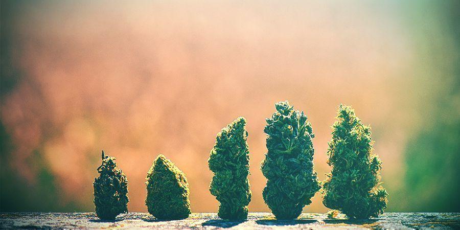 Comment Choisir La Bonne Variété De Cannabis Pays-Bas