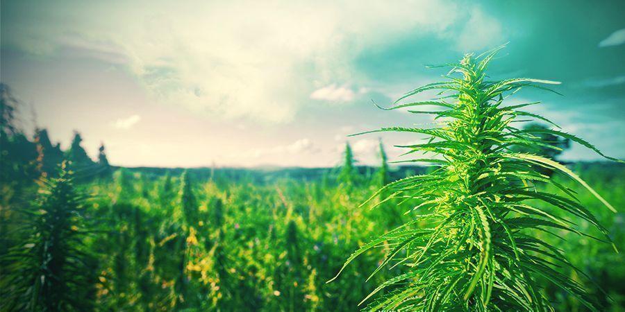 Des Conseils Pour La Culture Du Cannabis Aux Pays-Bas