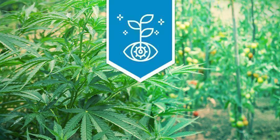 Le Cannabis En Tant Que Plant Compagnon