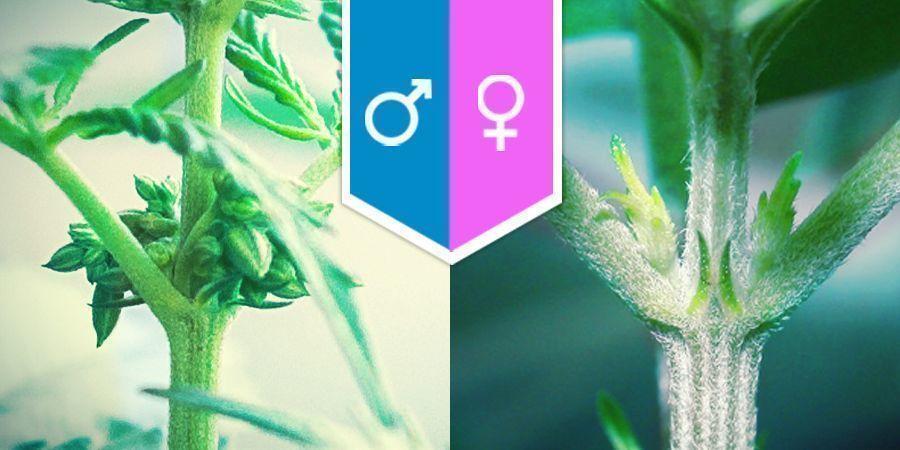 La Sexualité Du Cannabis