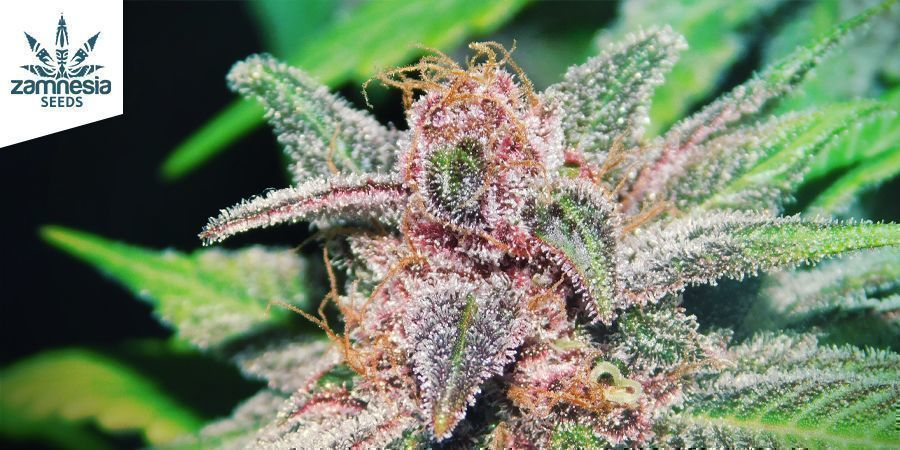 Purple Punch (Zamnesia Seeds)