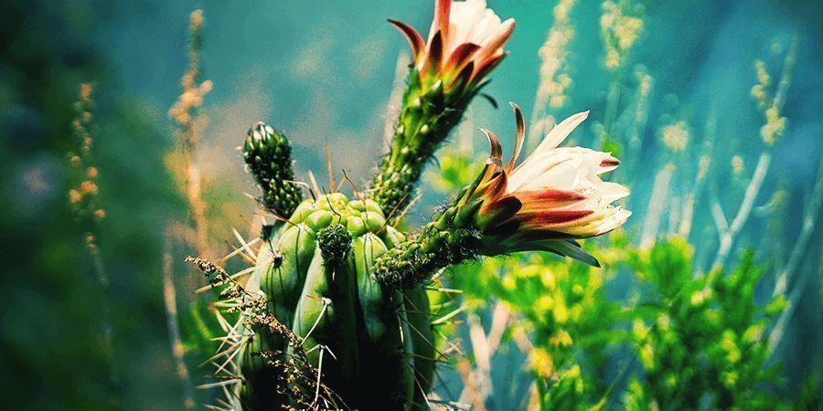 Les Cactus À Mescaline