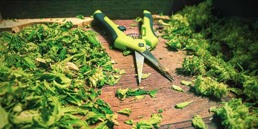 Conseils Pour Utiliser les Ciseaux de Taille Du Cannabis