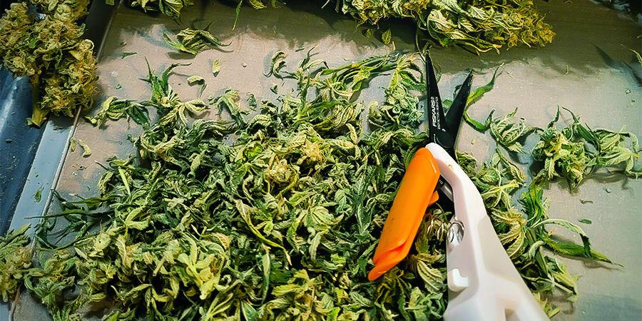Pourquoi Il Est Important de Nettoyer et d'Entretenir les Ciseaux à Tailler le Cannabis