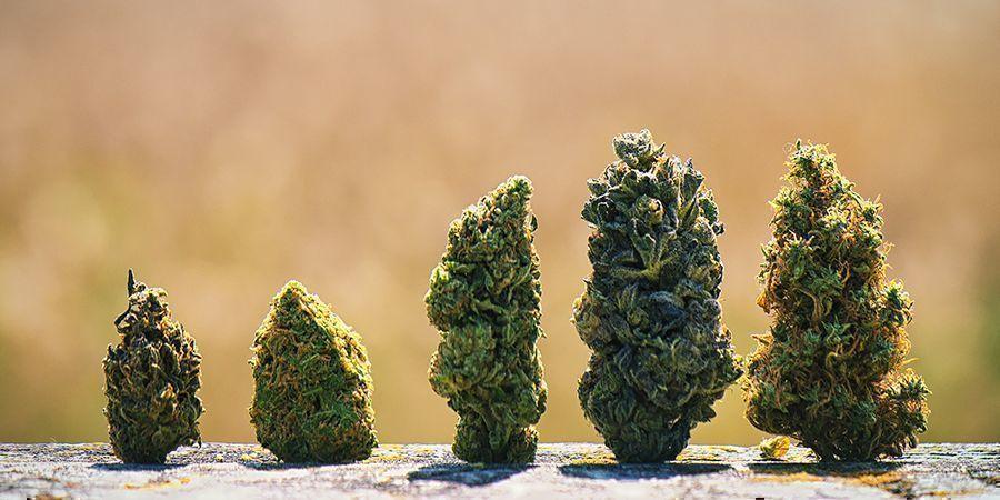 Pourquoi Les Têtes De Cannabis Ont Différentes Couleurs ?