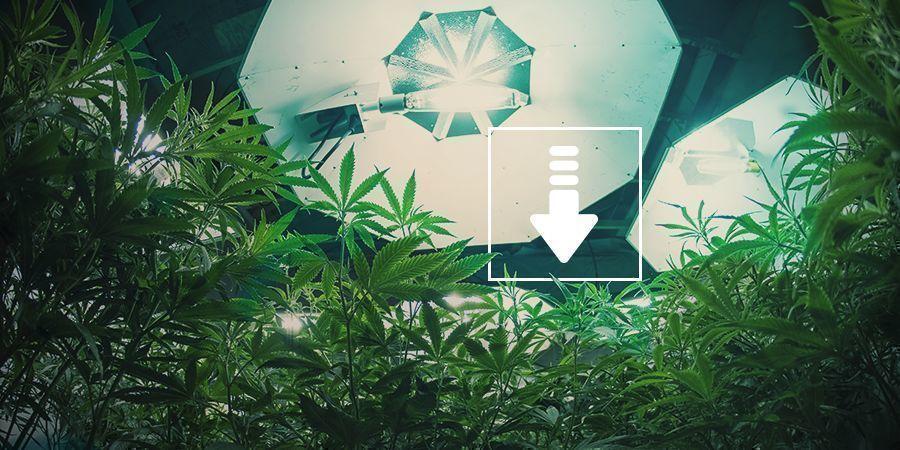Cannabis: Moins D'heures De Lumière Par Jour