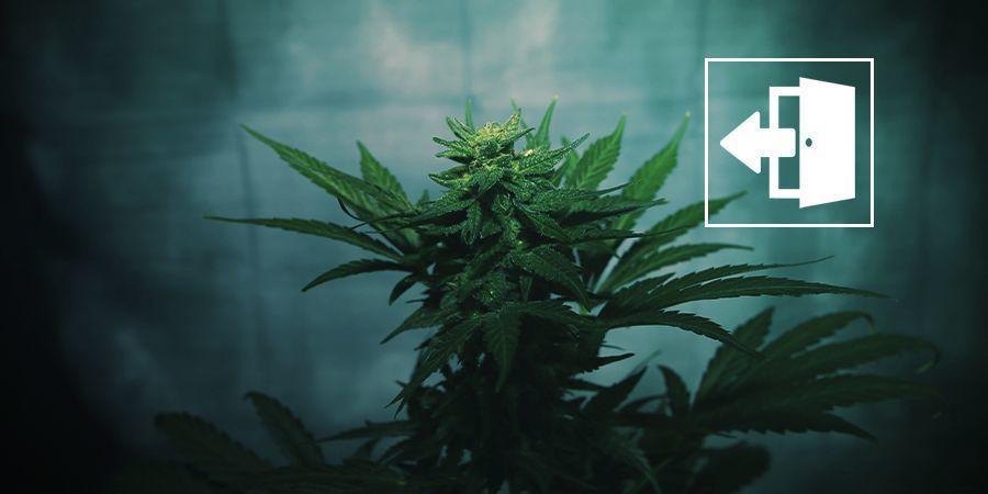 Floraison Forcée Pour Cannabis En Extérieur