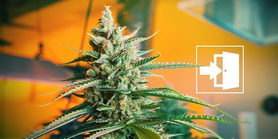 Cultiver Du Cannabis En Intérieur