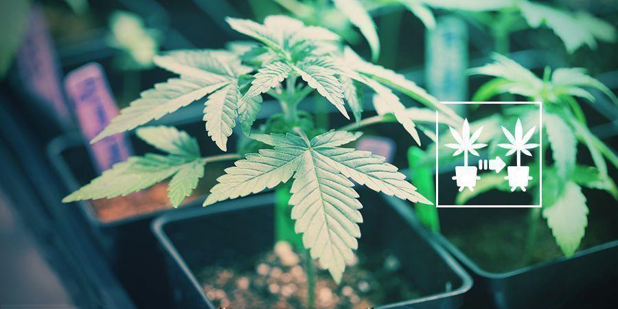 Utilisation De Clones Des Plants De Cannabis
