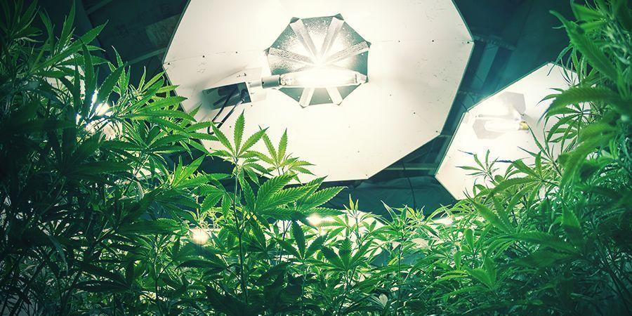 Cannabis Lumières Et Ph Des Racines