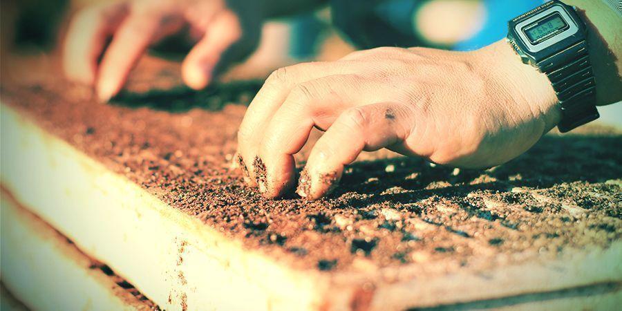 Planter Et Transplanter Le Tabac