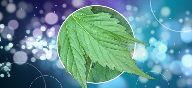 Les Plants De Cannabis Aux Formes Différentes
