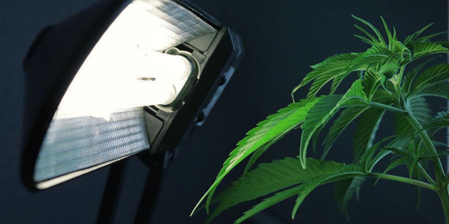 Problèmes Pendant La Floraison Du Cannabis : Installation des Lampes Inadaptée