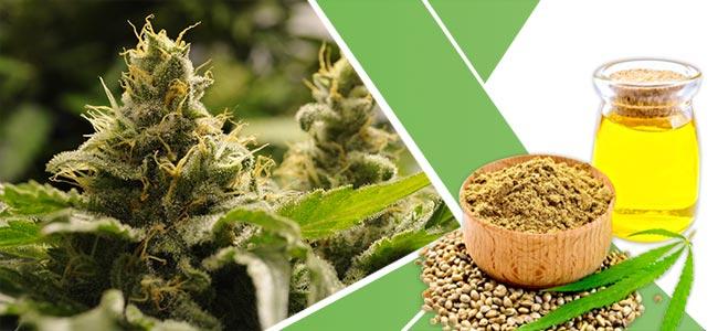 Plantes Perdre Du Poids: Cannabis