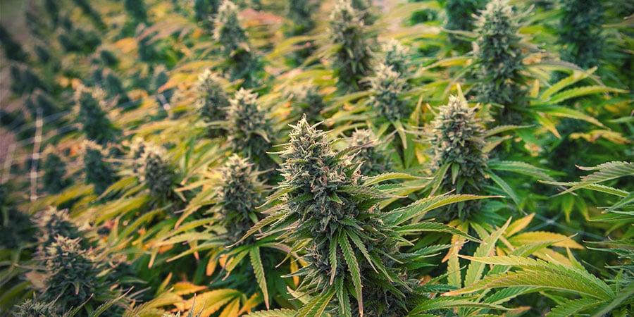 4 Techniques De Taille De Cannabis Pour Augmenter Votre Rendement