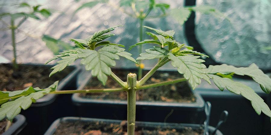 Étêtage Du Cannabis