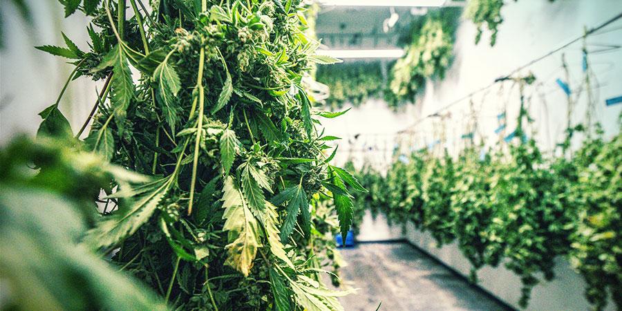 Qu'Est-ce Que La Taille Sèche Cannabis ?
