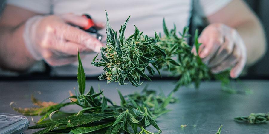 Qu'Est-ce Que La Taille Humide Cannabis ?
