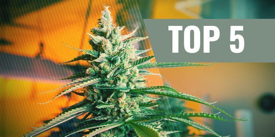 Les 5 Meilleures Graines De Cannabis À Autofloraison Pour La Culture D'Intérieur