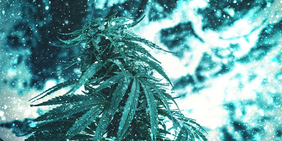 Variétés De Cannabis Pour Noël