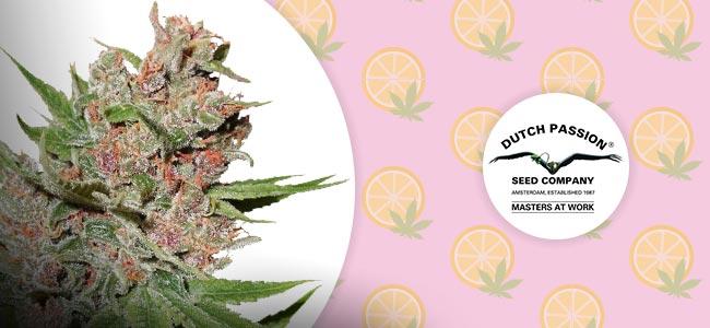 Strawberry Cough (Dutch Passion)