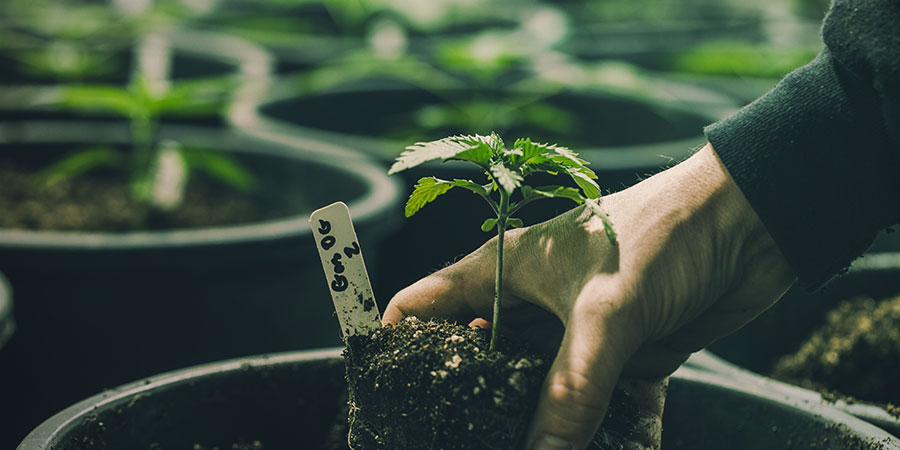 Les Quatre Techniques De Terres ROLS - Cannabis