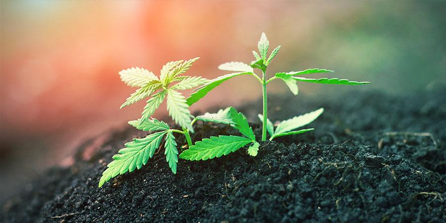 Terre Organique Vivante Recyclée (ROLS) - Cannabis