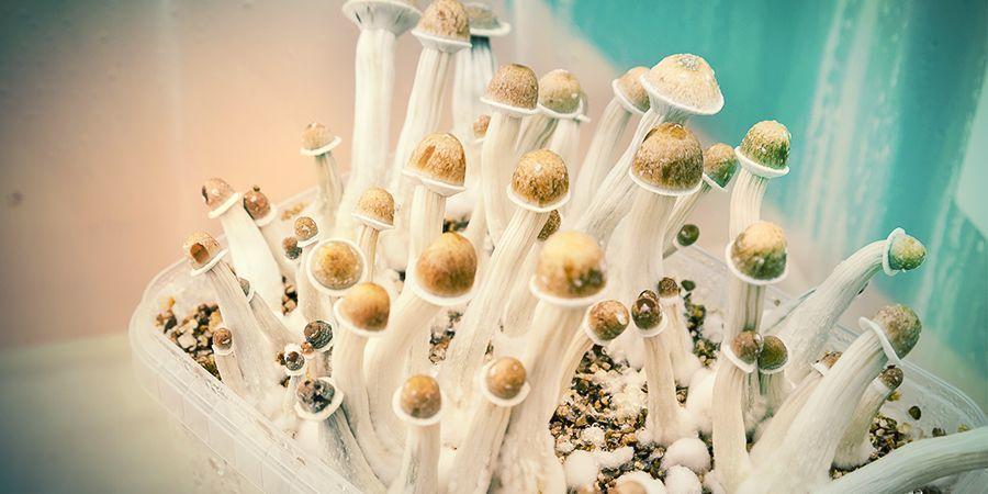 Top 5 Zamnesia Mushroom Grow Kits