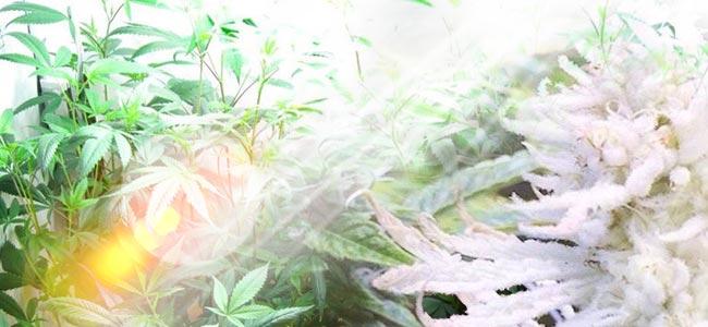 Qu'est-ce Qui Provoque L'albinisme Chez Les Plants De Cannabis ?