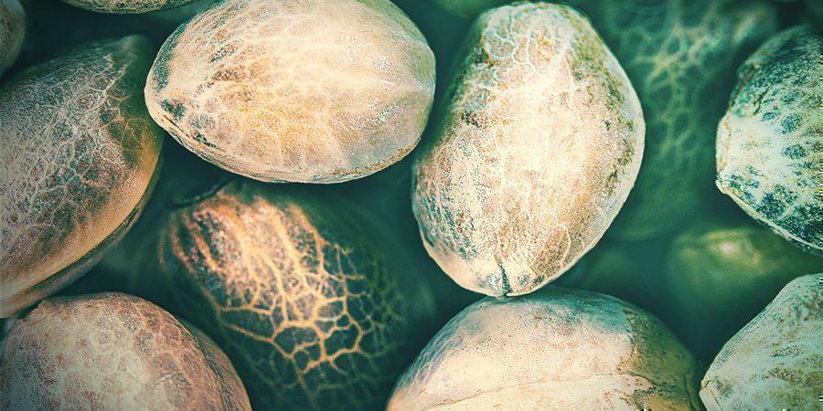 Types De Mauvaises Graines De Cannabis