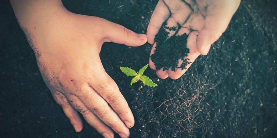 Cannabis Milieu De Culture