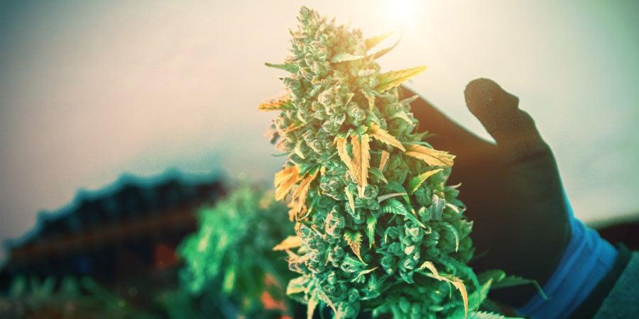 La Phase De Floraison Du Cannabis