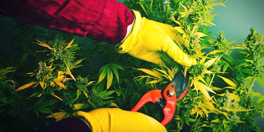 Quand Et Comment Récolter Et Sécher Son Cannabis