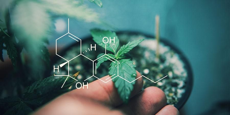 Quels Sont Les Effets Des Différents Cannabinoïdes ?