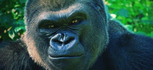 Gorilla Glue Automatic: Dites Bonjour