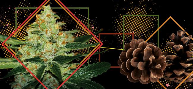 Underdawg Kush (T.H. Seeds)