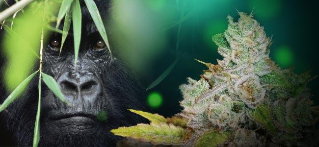 Gorilla Glue 4 (Growers Choice)