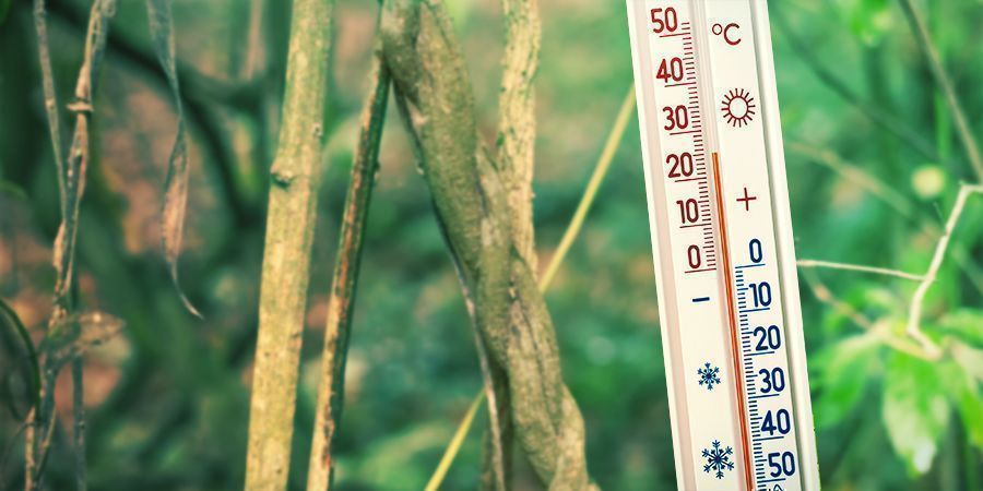 Garantissez Un Environnement Humide Et Chaud - Banisteriopsis Caapi