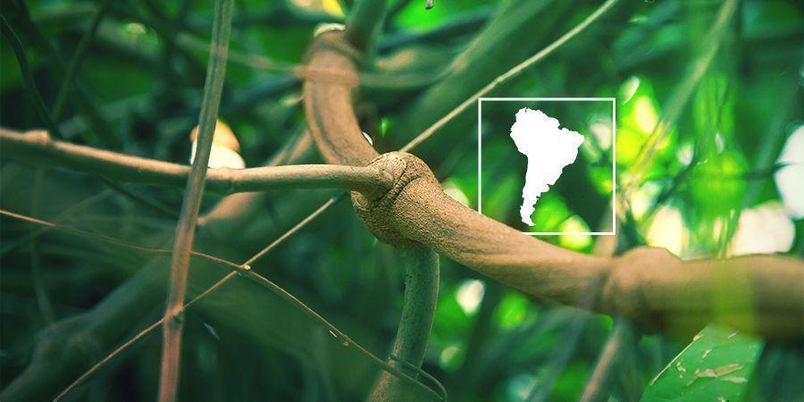 Qu'est-ce Que Le Banisteriopsis Caapi Et Pourquoi En Cultiver Vous-Même ?