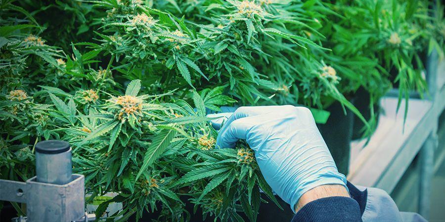 Comment Récolter Du Cannabis Plusieurs Fois Par An