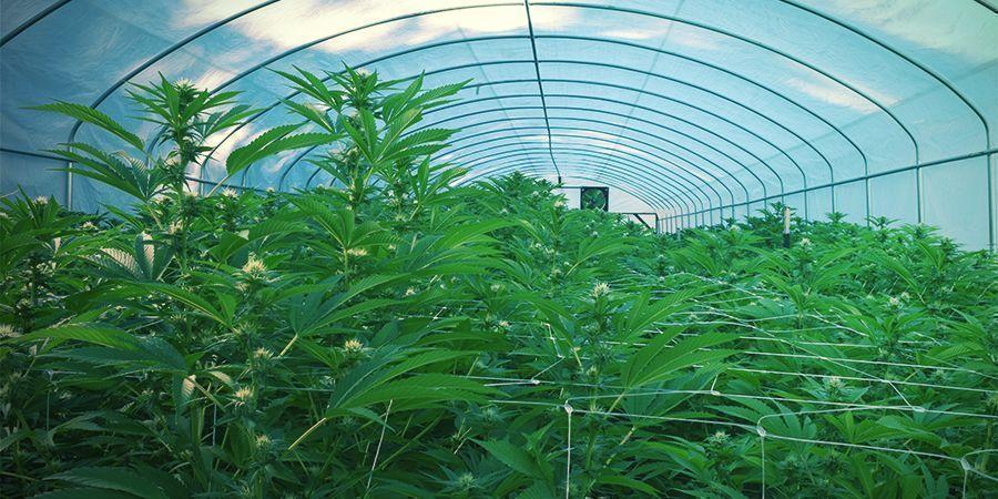 Extérieur - Récolte Perpétuelle De Cannabis