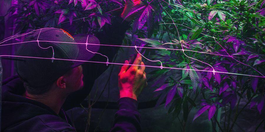 Installer Votre Zone De Culture - Récolte Perpétuelle De Cannabis