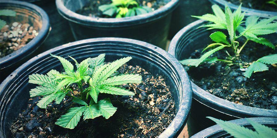 Prélever Des Clones/Planter Des Graines - Récolte Perpétuelle De Cannabis